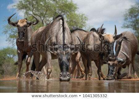 Wildebeests in South Africa Stock photo © prill
