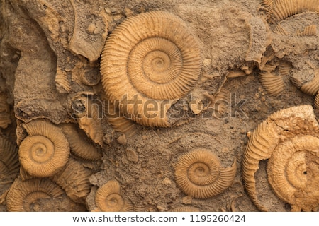fossilized ammonite Stock photo © ptichka