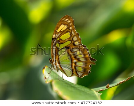 Malaquita borboleta laranja inseto américa Brasil Foto stock © compuinfoto