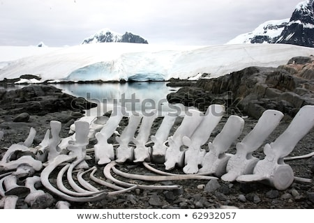 Penguin and whale bones  Stock photo © benkrut