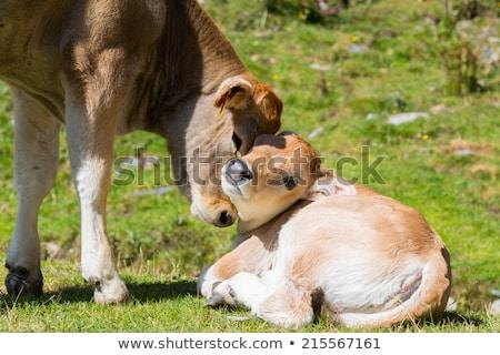 Inek yeşil ot beyaz doğa alan Stok fotoğraf © compuinfoto
