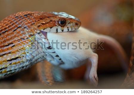 Mais serpente mangiare mouse bianco Foto d'archivio © cynoclub