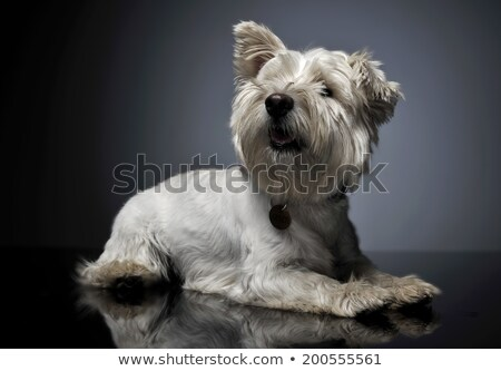 West Highland White Terrier lyingin a shiny gray background Stock photo © vauvau