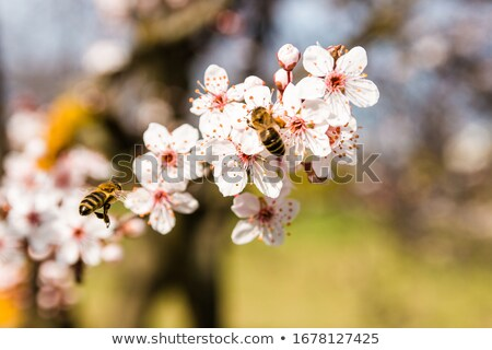 Spring blossom background. Beautiful nature scene with blooming tree of apple Stock photo © Virgin
