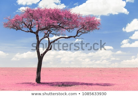 pink acacia tree in savanna with infrared effect Stock photo © dolgachov