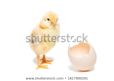 Little chick comes of of egg Stock photo © colematt