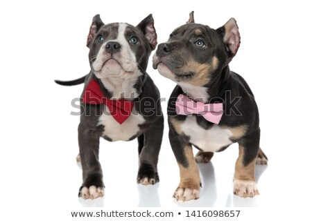 2 · 愛らしい · アメリカン · 子犬 · 着用 · 木製 - ストックフォト © feedough