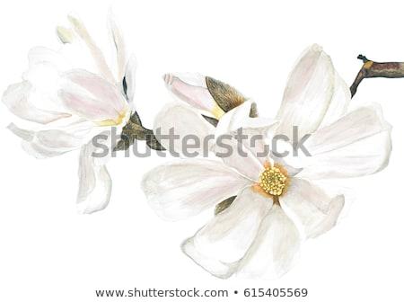 magnolia · bloemen · roze · witte · boom · hemel - stockfoto © cla78