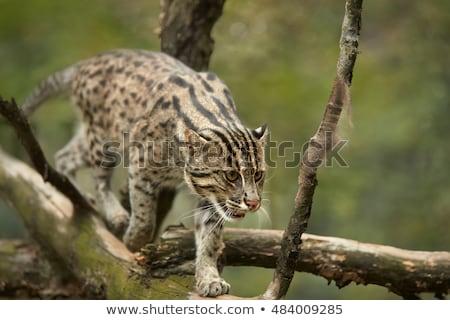 Asian fishing cat Stock photo © smithore