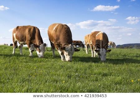 скота · трава · холме · низкий · солнце · выстрел - Сток-фото © snyfer