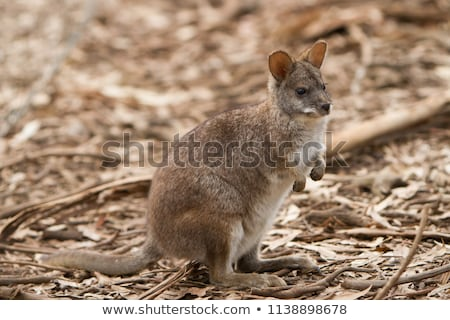 Close-up of a parma wallaby Stock photo © michaklootwijk