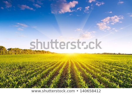 Stock photo: Corn green fields landscape outdoors