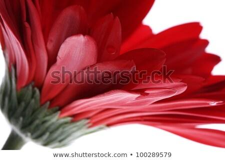 Red Gerbera Lit Up Stock photo © tainasohlman