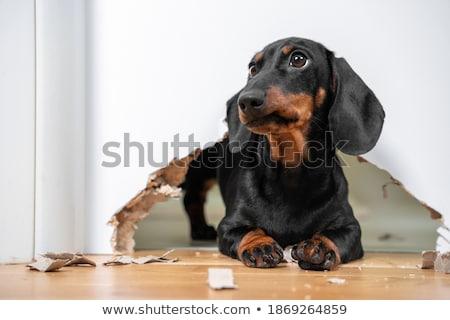 bad puppy Stock photo © willeecole