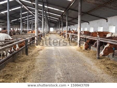 çiftlik sığırlar içinde iş gıda hayvanlar Stok fotoğraf © OleksandrO