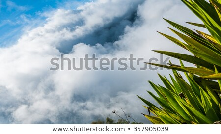 green exotic palm tree plant above clouds up in the mountain of cape verde island stock photo © attiarndt
