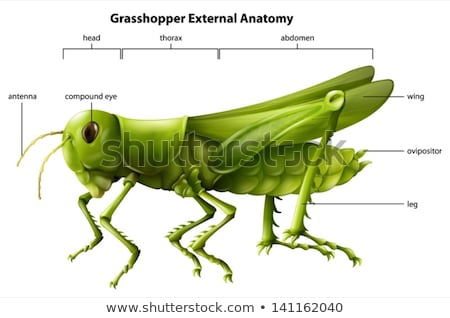 External anatomy of a grasshopper Stock photo © bluering