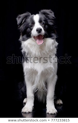 border collie sitting in the dark studio Stock photo © vauvau