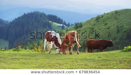Ukrainian village cows. Stock photo © Massonforstock
