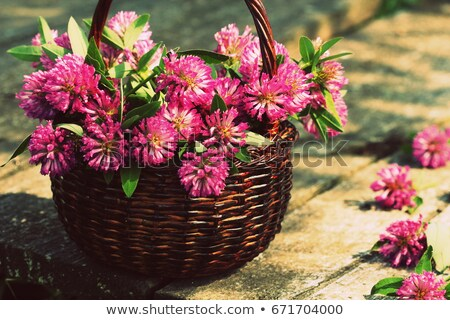 clover flowers in a basket herbs harvesting of medicinal raw materials stock photo © virgin