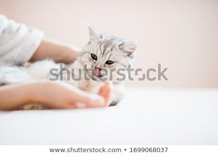 adorable grey kitty relaxing on white background Stock photo © feedough