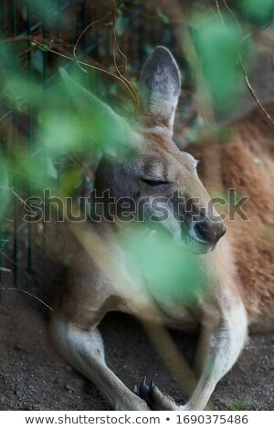 sleeping kangaroo australian animal is asleep sleepy wild beas stock photo © popaukropa