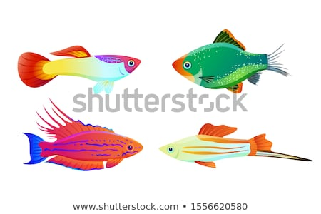 filamented flasher wrasse and swordtail fish stock photo © robuart