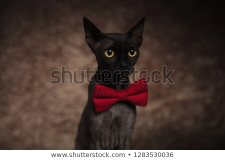 curious grey metis cat sits and looks to side Stock photo © feedough