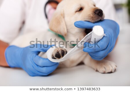 Cute puppy dog having fun playing with the bandage and biting pl Stock photo © ilona75