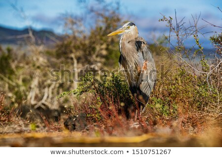 Galapagos - Great blue heron adult on Galapagos Islands. Amazing bird animals wildlife nature of Gal Stock photo © Maridav
