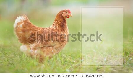 Galinha garotas fazenda ilustração família casal Foto stock © adrenalina