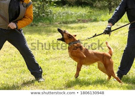 hond · meester · foto · grijs · poedel · studio - stockfoto © pressmaster