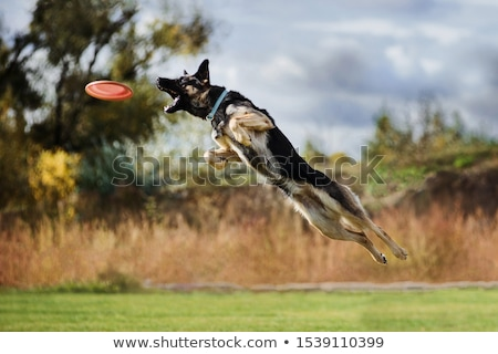 German shepard dog Stock photo © dvarg