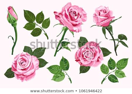 Green Fabrics Rose Photo stock © TasiPas