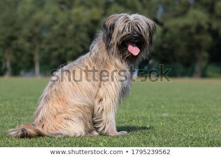 пастух собака мнение лице портрет Сток-фото © eriklam