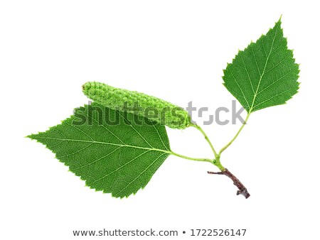 Green birch leaf on a branch stock photo © Olesha