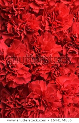 red carnation Stock photo © carlodapino