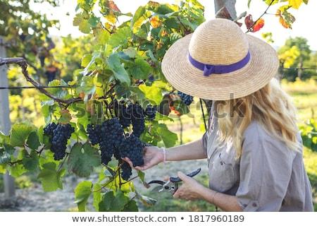 Frau · Ernte · Trauben · Mädchen · Lächeln · Wein - stock foto © photography33