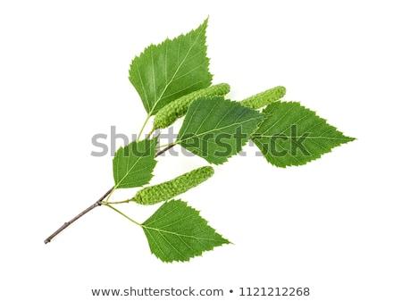 huş · ağacı · yaprakları · ağaç · yalıtılmış · beyaz · arka · plan - stok fotoğraf © stocksnapper