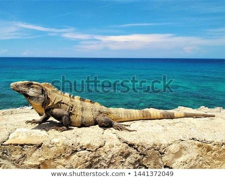 イグアナ · トカゲ · クローズアップ · 背景 - ストックフォト © pxhidalgo