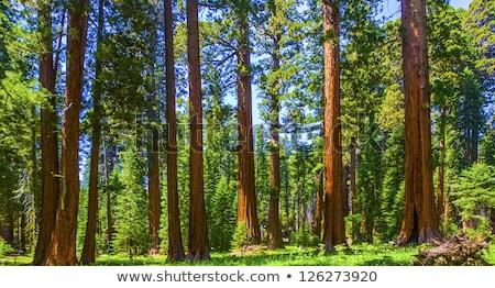 Beroemd groot sequoila bomen permanente park Stockfoto © meinzahn
