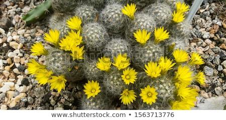 Geel · cactus · bloem · vol · bloeien - stockfoto © andromeda