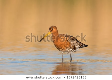 black tailed godwit Stock photo © chris2766
