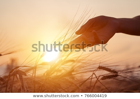 Closeup of a ripe wheat with lens flare Stock photo © deandrobot
