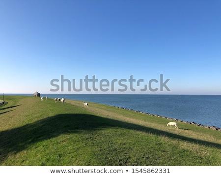羊 · 多くの · オランダ語 · 草 · 自然 · 川 - ストックフォト © hofmeester