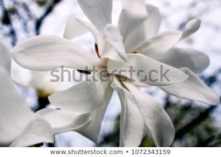 Pistil of Tulip blossom Stock photo © manfredxy