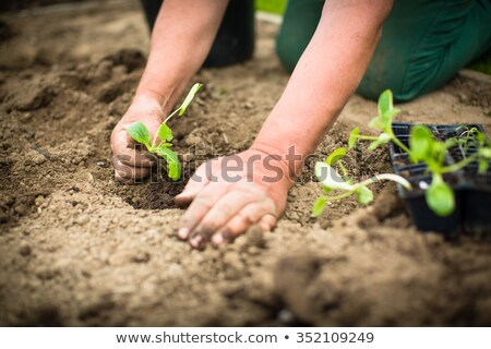 Hands of  a man planting his own vegetable garden Stock photo © lightpoet