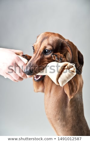 lovely dachshund relaxing in a white studio Stock photo © vauvau