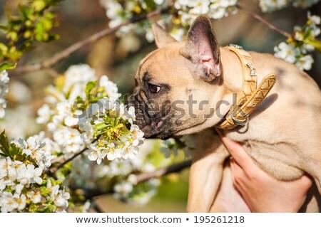 Francia bulldog szag virág fekete kéz Stock fotó © OleksandrO