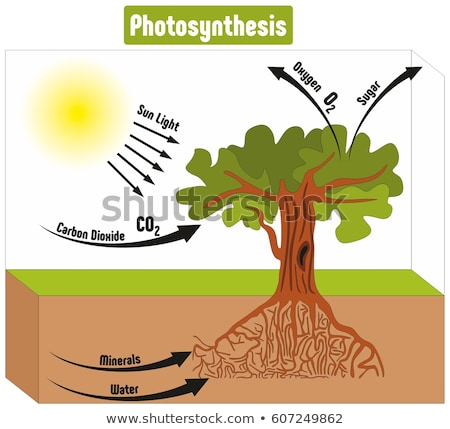 a science education of photosynthesis stock photo © bluering